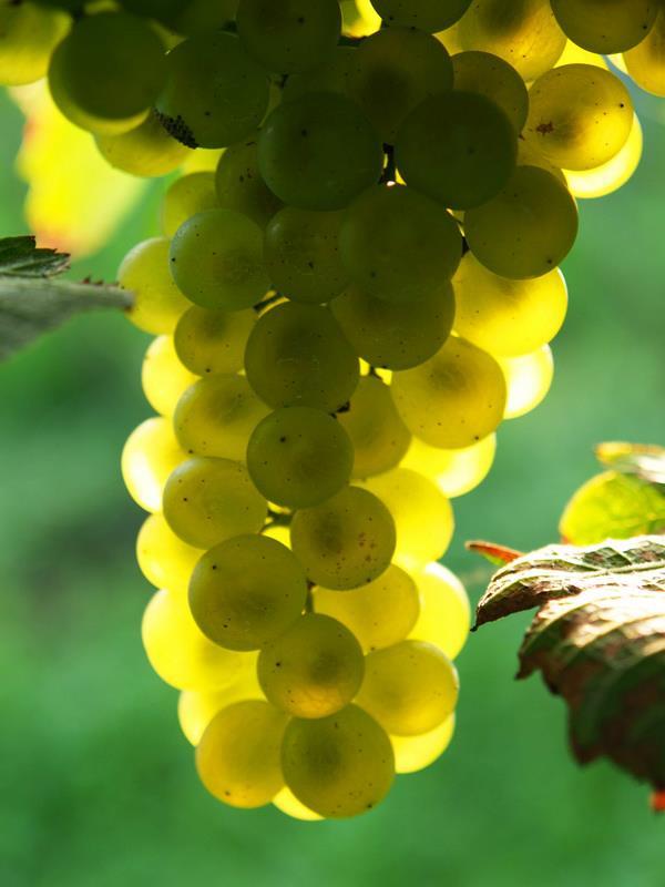 szőlőfürt